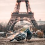 pigeons in paris